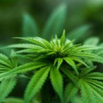 Cannabis Plant In the Work Place – Harmless or Not?